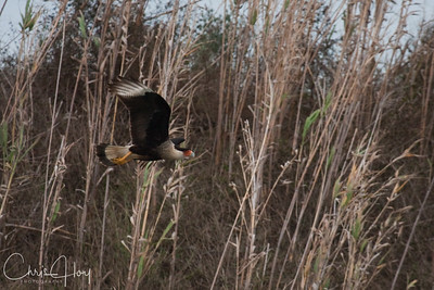 Crested Caracara in Flight at Aransas National Wildlife Refuge