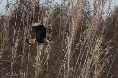 Crested Caracara in Flight at Aransas National Wildlife Refuge