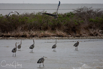 Great Blue Herons at Rookery Island, Texas