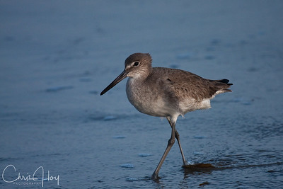Willet at Port Aransas, Texas