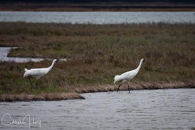 Whooping Cranes at Aransas National Wildlife Refuge