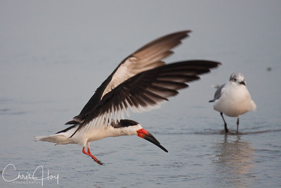 Black Skimmer - Port Aransas, Texas