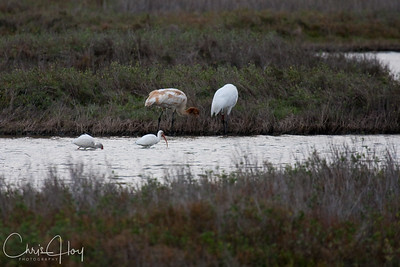Adult Whooping Crane, Juvenile Whooping Crane & White Ibis at Aransas National Wildlife Refuge