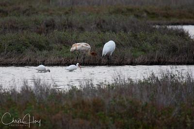 Adult Whooping Crane, Juvenile Whooping Crane & White Ibis at Aransas National Wildlife Refuge