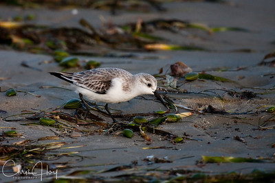 Sanderling at Port Aransas, Texas