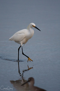 Snowy Egret, Port Aransas, Texas