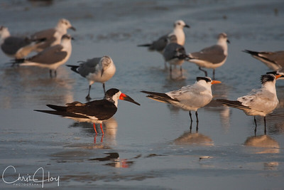 Black Skimmer, Caspian Terns, Laughing Gulls - Port Aransas, Texas
