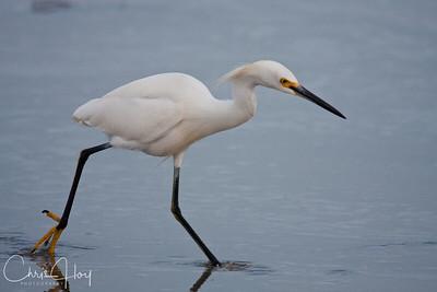 Snowy Egret, Port Aransas, Texas