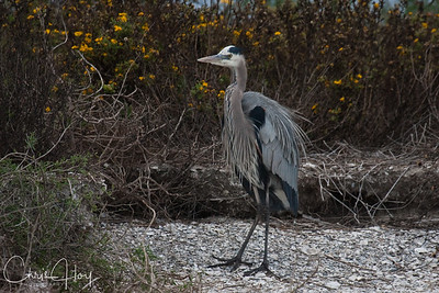 Great Blue Heron at Aransas National Wildlife Refuge