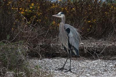 Great Blue Heron at Aransas National Wildlife Refuge