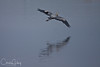 Pelican over Baskett Slough National Wildlife Refuge
