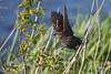Female Redwinged Balckbird