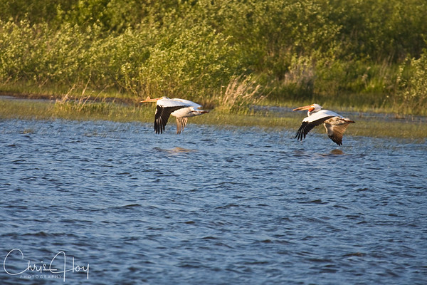 Pelican over Baskett Slough