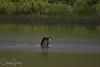 Osprey over Baskett Slough National Wildlife Refuge