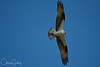 Osprey over Baskett Slough National Wildlife Refuge
