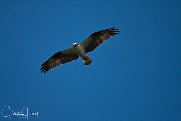 Osprey over Baskett Slough National Wildlife Refug