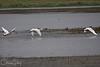 Tundra Swan at Ridgefield NWR