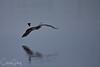 Great Blue Heron & Red Winged Blackbird, Baskett Slough National Wildlife Refuge