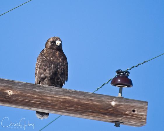 Dark Morph Rough Legged Hawk at Tulelake NWR