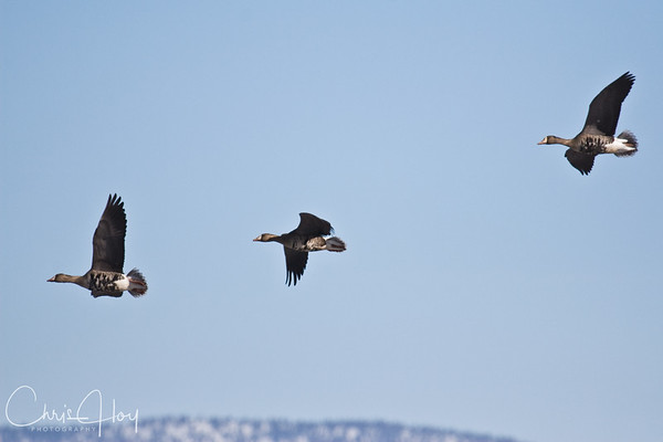 White Fronted Geese over Snowy Klamath