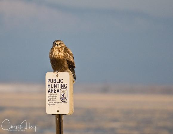 Rough Legged Hawk in the Early Morning at Lower Klamath NWR
