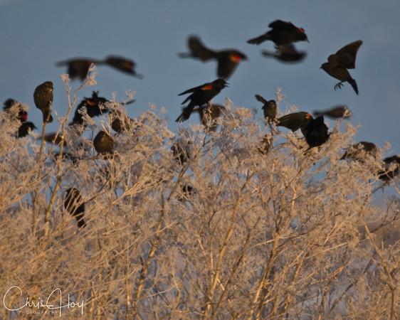 Red Winged Blackbirds at Lower Klamath NWR