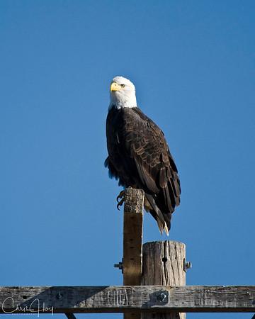 Bald Eagle at Tulelake NWR