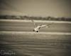 Tundra Swan at Lower Klamath NWR