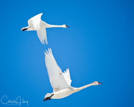 Tundra Swan in Flight over Lower Klamath NWR