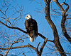 Bald Eagle at Lower Klamath NWR