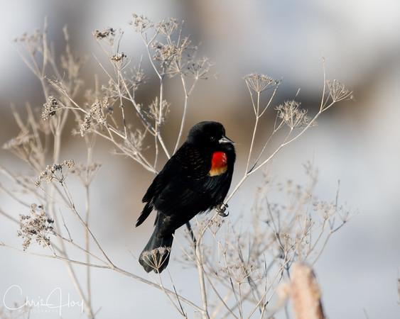 Red Winged Blackbird at Lower Klamath NWR