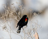 Red Winged Blackbird at Lower Klamath NWR