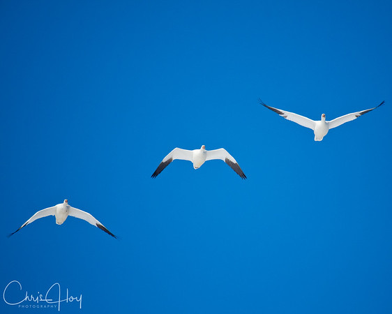 Ross's Geese in Flight over Lower Klamath NWR
