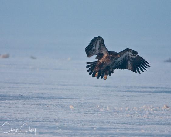Bald Eagles eating Tundra Swan at Lower Klamath NWR-2