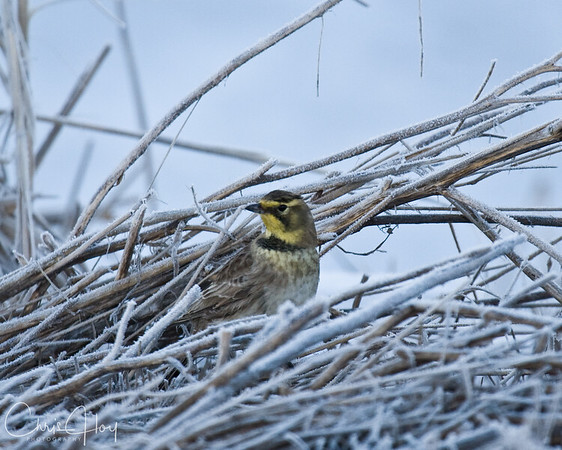 Horned Lark at Lower Klamath NWR