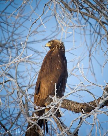 Golden Eagle at  Lower Klamath NWR