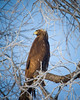 Golden Eagle at  Lower Klamath NWR