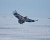 Bald Eagles eating Tundra Swan at Lower Klamath NWR