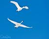 Tundra Swan in flight at Lower Klamath NWR