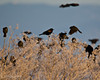 Red Winged Blackbirds at Lower Klamath NWR