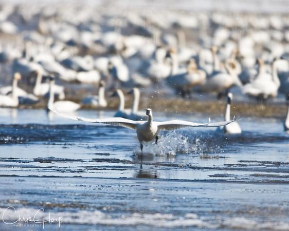 Tundra Swan Takeoff at Lower Klamath NWR