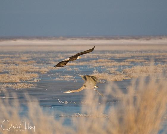 Bald Eagle & Great Blue Heron at  Lower Klamath NWR