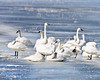 Tundra Swan at Lower Klamath NWR