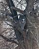 Great Horned Owl at Lower Klamath NWR