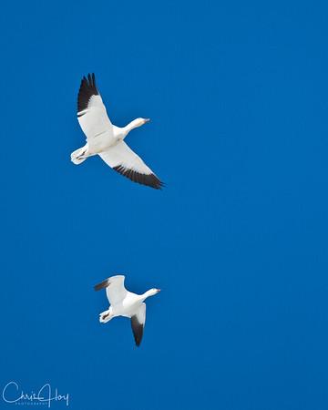 Snow Goose & Ross's Goose at Lower Klamath NWR