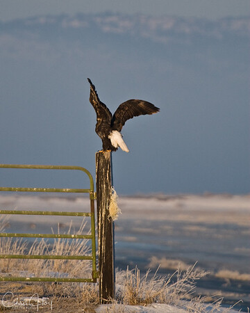 Bald Eagle at  Lower Klamath NWR