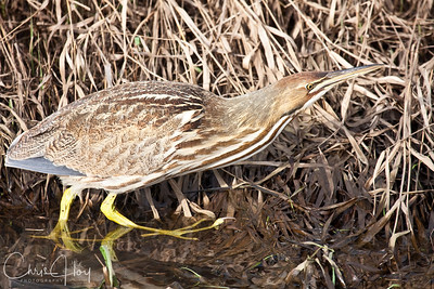 American Bittern at Ridgefield National Wildlife Refuge-8