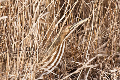 American Bittern at Ridgefield National Wildlife Refuge-7