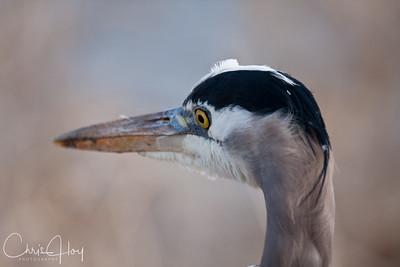 Great Blue Heron at Ridgefield National Wildlife Refuge