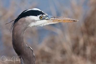 Great Blue Heron at Ridgefield National Wildlife Refuge-2